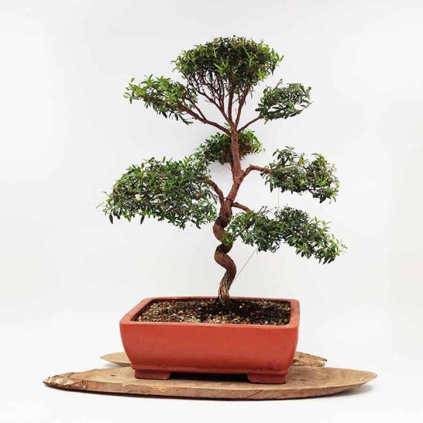 בונסאי-הדס-טרנטיני-3(-tarentina-myrtus-communis)