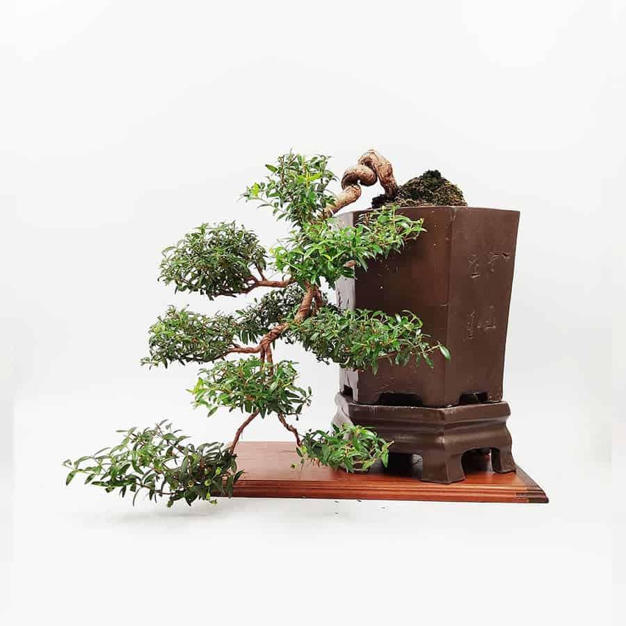בונסאי-הדס-טרנטיני-(-tarentina-myrtus-communis)40