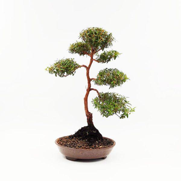 בונסאי-הדס-טרנטיני-(-tarentina-myrtus-communis)43