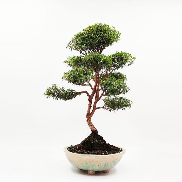 בונסאי-הדס-טרנטיני-(-tarentina-myrtus-communis)60