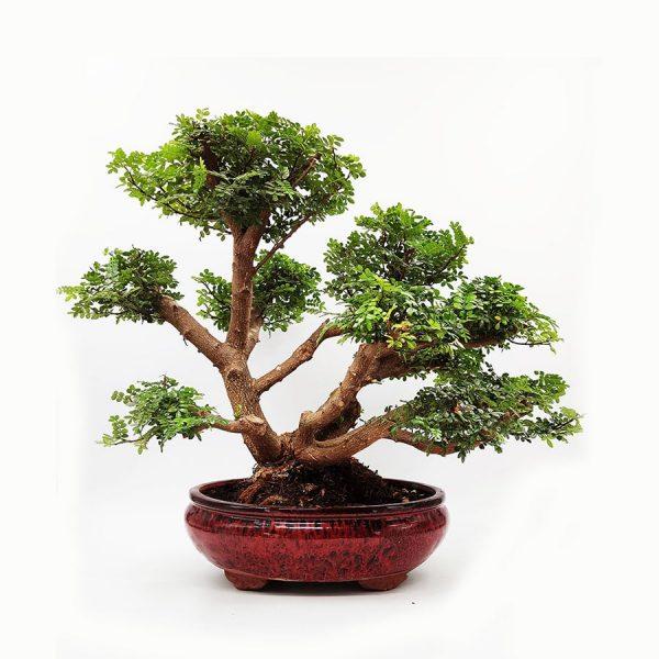 בונסאי-פלפון-סיני-(Zanthoxylum-beecheyanum)-Sichuan-pepper