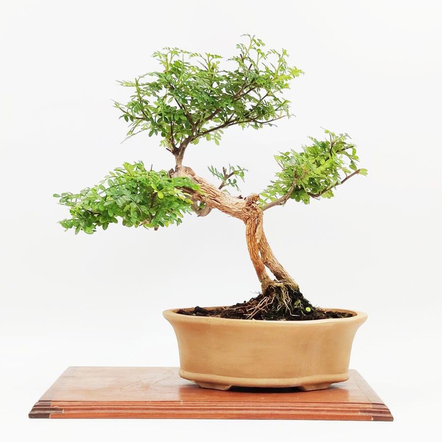 בונסאי-פלפון-סיני-(Zanthoxylum-beecheyanum)-Sichuan-pepper,