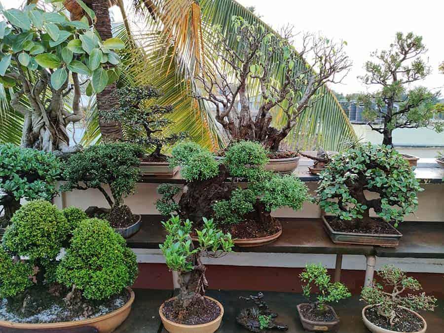 עצים ננסיים לגינה