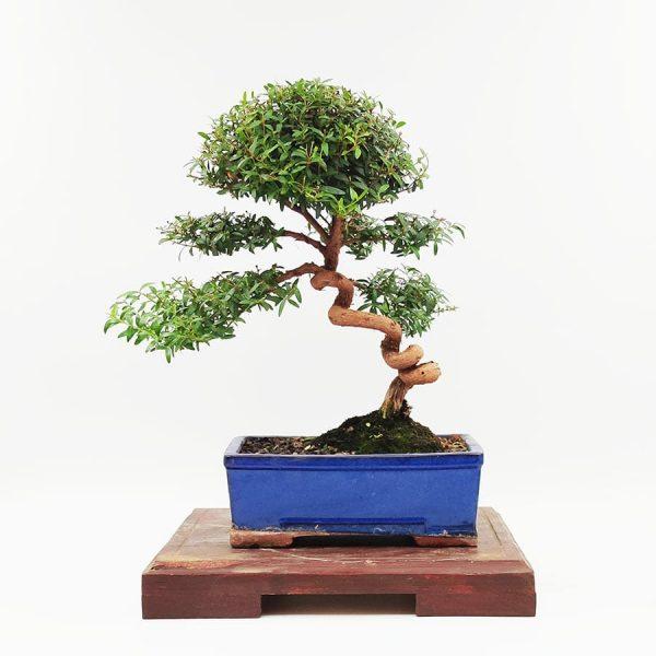 בונסאי-הדס-טרנטיני-(-tarentina-myrtus-communis)