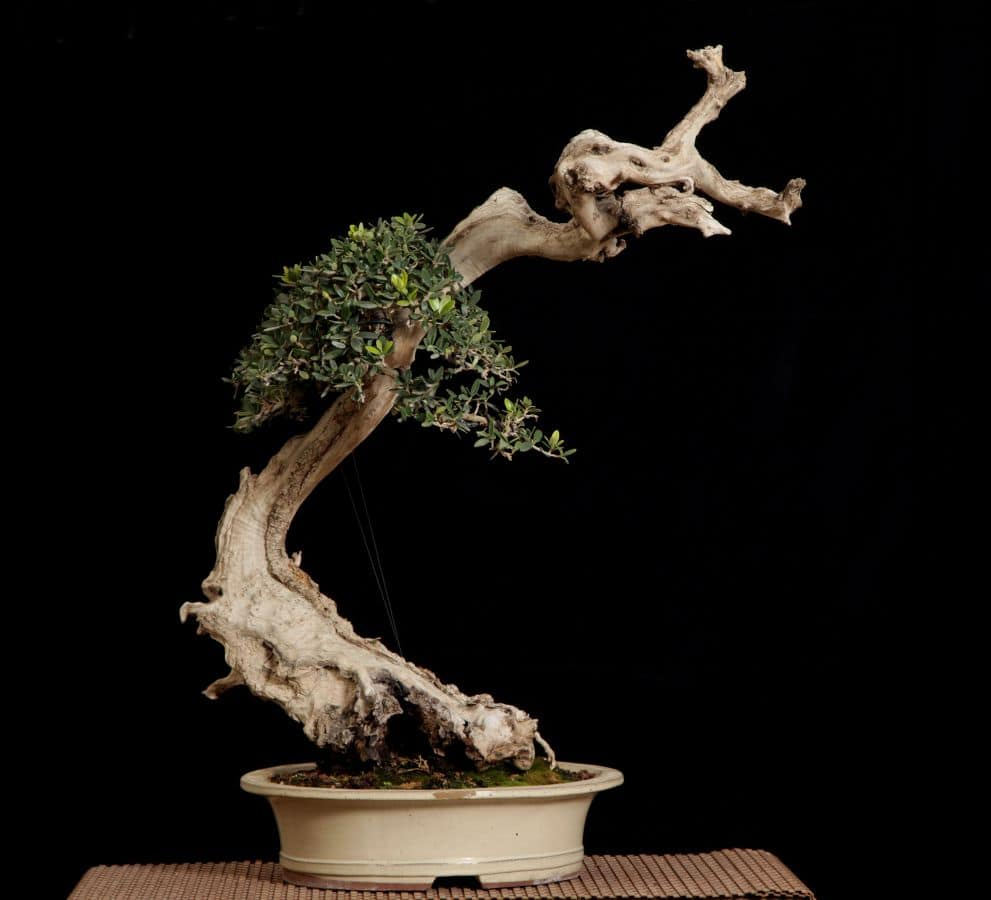 עצי זית ננסיים