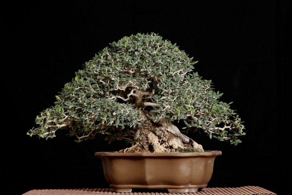 עץ זית בונסאי