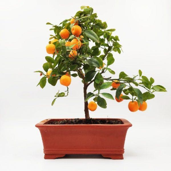 עצי פרי תפוז ננסיים