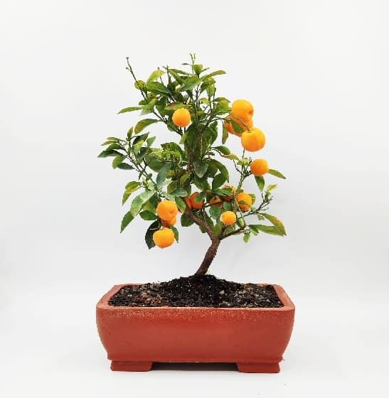 עצי פרי ננסיים