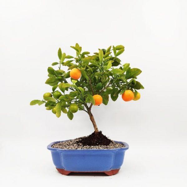 עץ פרי ננסי