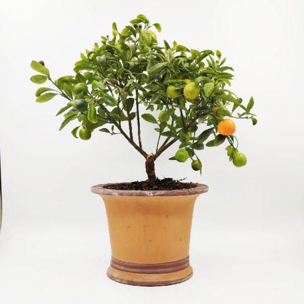עץ פרי קלמונדין ננסי