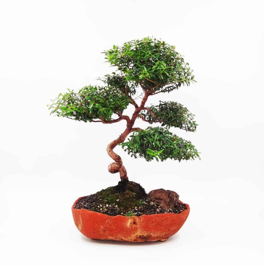 עץ בונסאי הדס