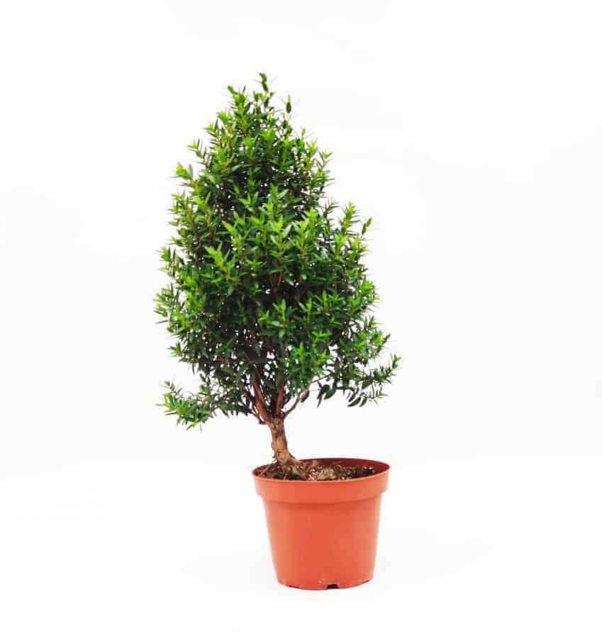 איך עושים עץ בונסאי