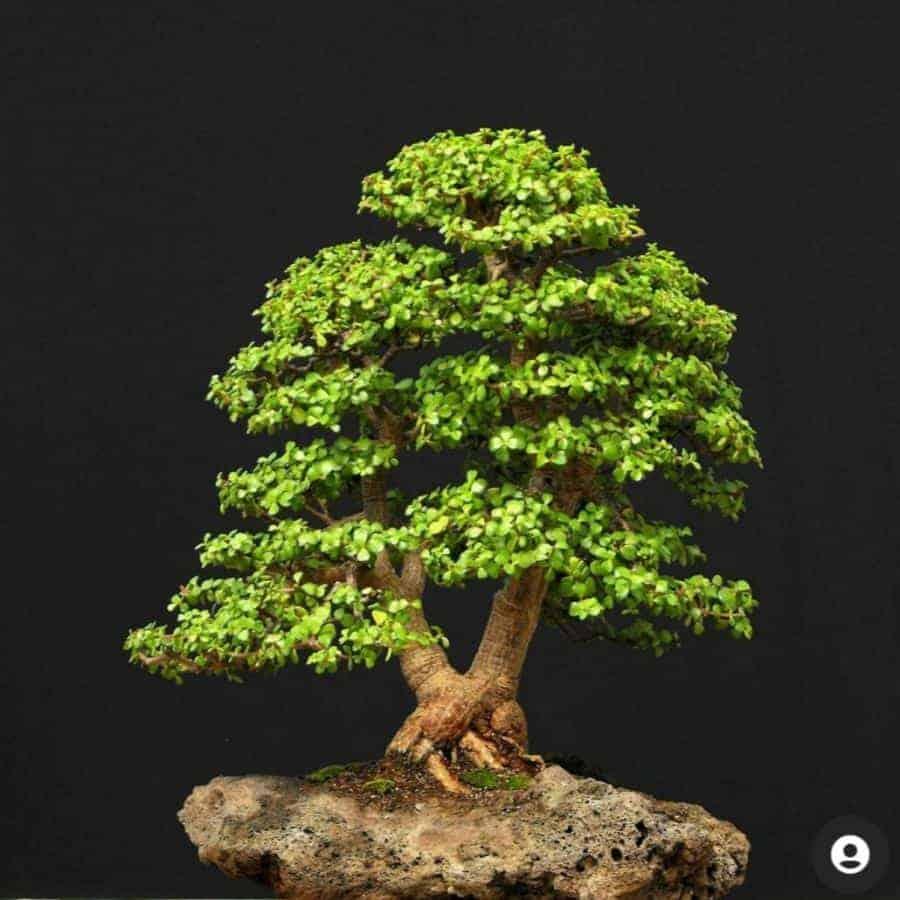 התפתחות עץ בונסאי