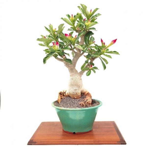 עץ בונסאי מסוג אדניום