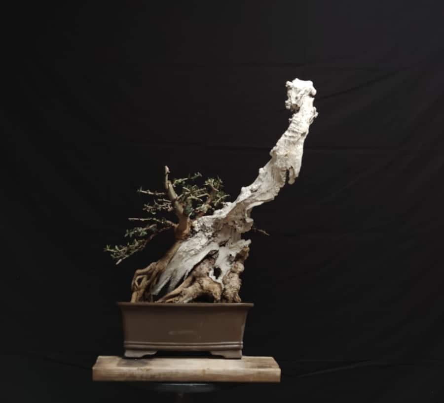 עץ הבונסאי וסיפורו