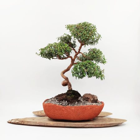 בונסאי הדס טרנטיני ( tarentina myrtus communis)