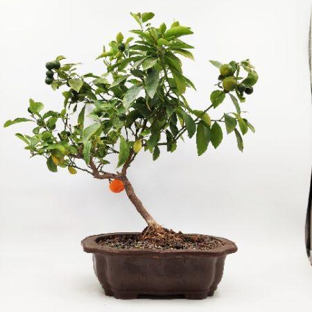 עצי תפוז ננסיים